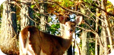 Pocono_fall_foliage_whitetail_deer_
